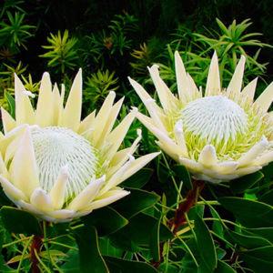 Arctic Ice Protea Flowers