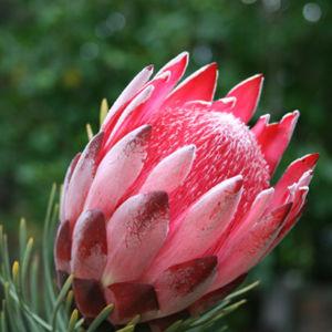 Aristocrat Flower