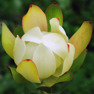 Buyani Flower