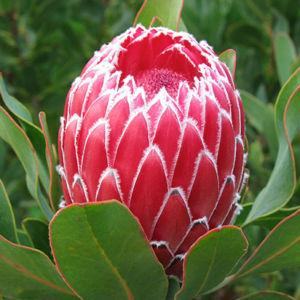 Candida Flower