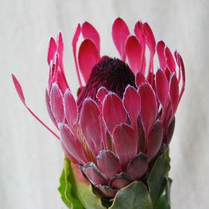 Fiery Duchess Flower