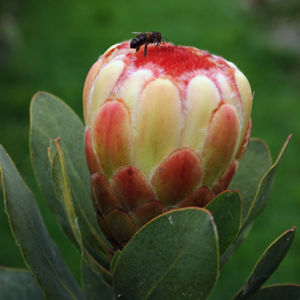 Grandicolor Flower
