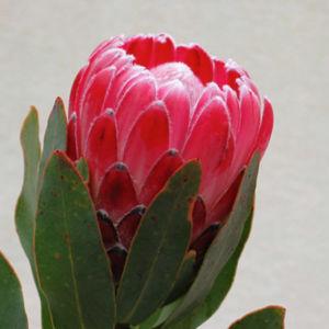 Lady Di Flower