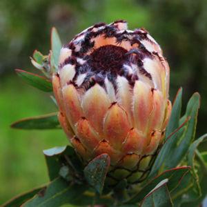 Lady Pearl Flower