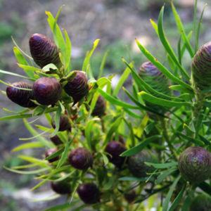 Lcd Salicifolium