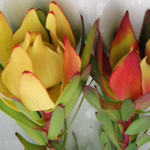 Noel Rose Flower