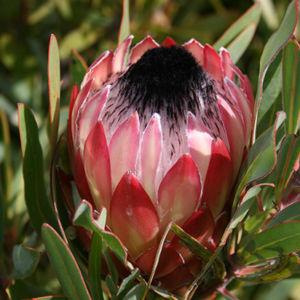 Pinita Flower