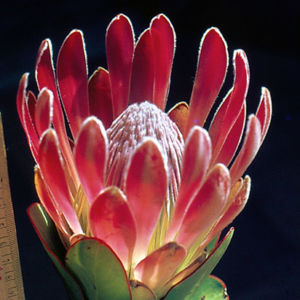 Protea Compacta Flower