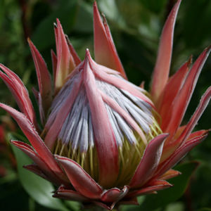 Protea Mini King