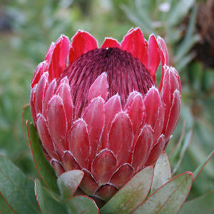 Sharonette Flower