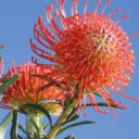 Cape Flora African Protea
