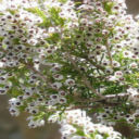 Cape Flora Ericas