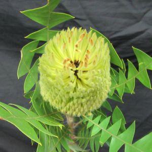 Baxterii Capeflora