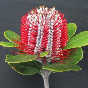 Coccinea Capeflora