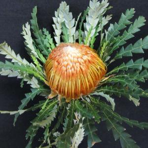 Dryandra Capeflora