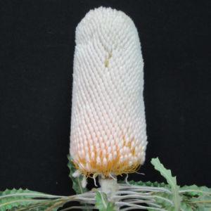 Prionotes Capeflora